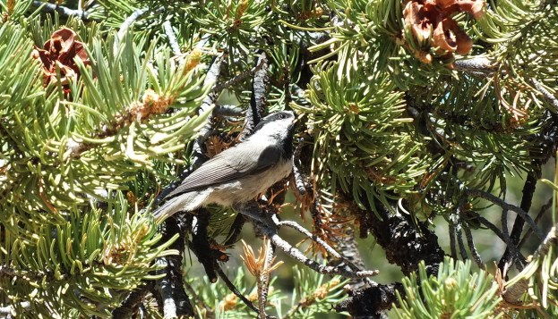 Mountain chickadee on a limb of a Pinyon Pine tree at Grand Canyon National Park, Arizona, U.S.A.