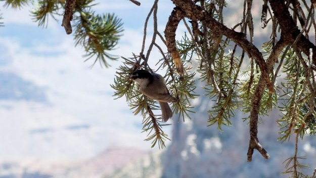 Mountain chickadee on tree branch at Grand Canyon National Park, Arizona, U.S.A.