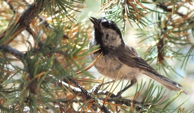 Mountain chickadee on a tree branch at Grand Canyon National Park, Arizona, U.S.A.
