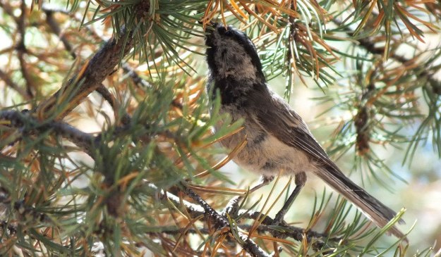 Mountain chickadee eating insects among tree limbs at Grand Canyon National Park, Arizona, U.S.A.