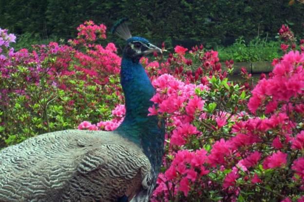 peacock at Keukenhof Gardens, holland