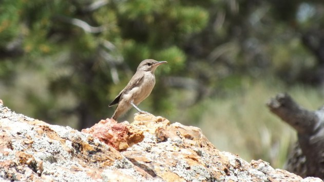 Rock Wren sitting atop a rock on the South Rim at Grand Canyon National Park in Arizona, U.S.A.