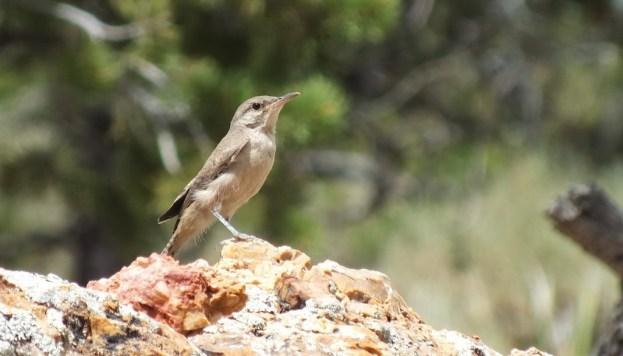 Rock Wren sitting on a rock on the South Rim at Grand Canyon National Park in Arizona, U.S.A.