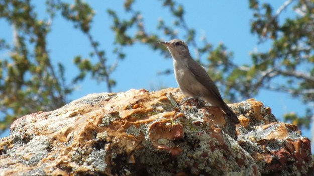 Rock Wren on a rock on the South Rim at Grand Canyon National Park in Arizona