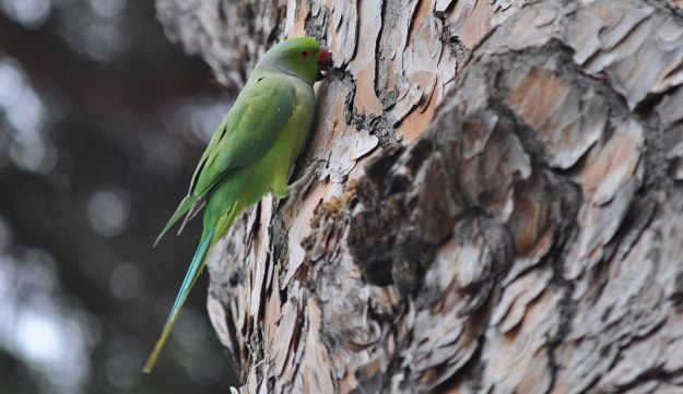 An image of a Rose-ringed parakeet chewing at tree bark in Villa Borghese Park in Rome, Italy. Photography by Frame To Frame - Bob and Jean.