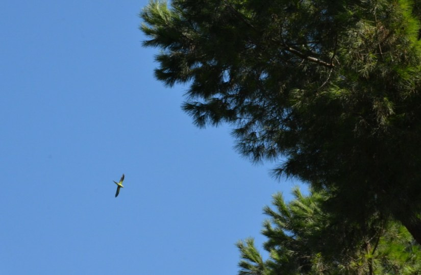 An image of a Rose-ringed parakeet flying above trees in Villa Borghese Park in Rome, Italy. Photography by Frame To Frame - Bob and Jean.