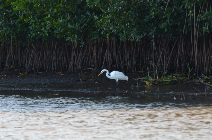 Photo of a Great Egret standing along the shore of the San Cristobal River near San Blas, Mexico