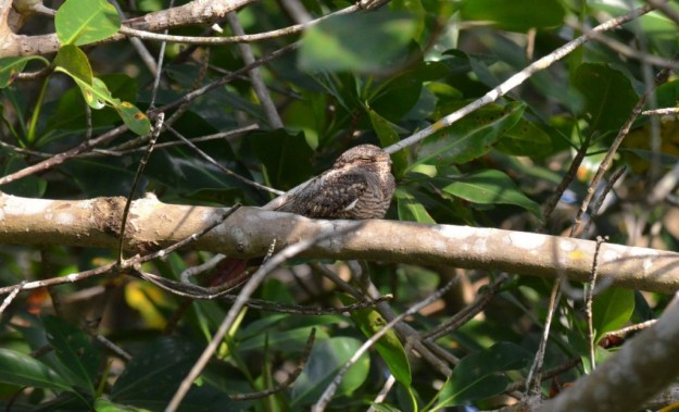 Photo of a Lesser Nighthawk sitting in on a tree limb in the mangrove swamp near San Blas, Mexico