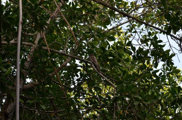 Photo of a Northern Potoo sitting in a trees in the mangrove swamp near San Blas, Mexico