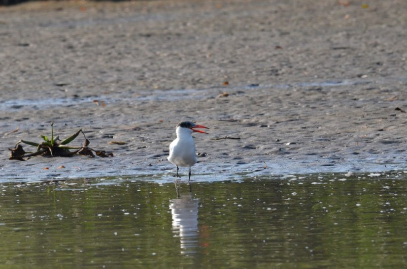 Photo of a Caspian Tern along the shore of the San Cristobal River near San Blas, Mexico