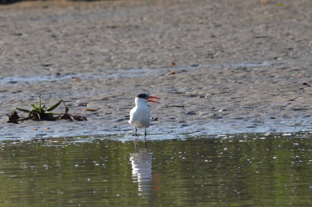 Photo of a Caspian Tern along the shore of the San Cristobal River near San Blas, Mexico