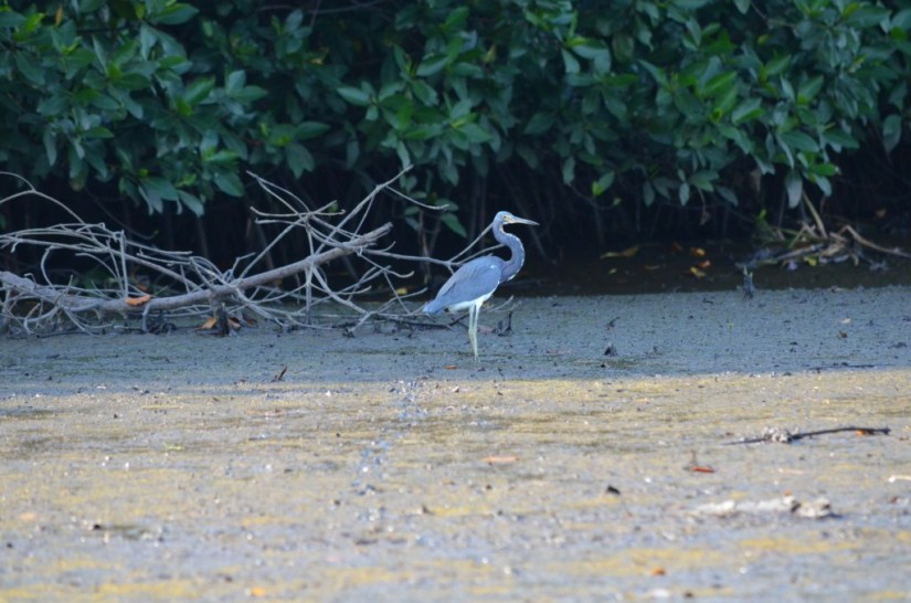 Photo of a Tri-colored Heron along the San Cristobal River near San Blas, Mexico