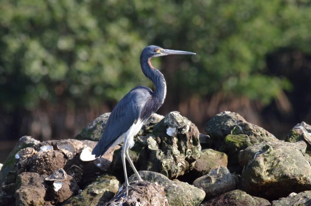 Tri-colored Heron 2, mangrove swamp, san blas, nayarit, mexico