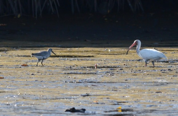 Photo of a White Ibis and Stilt Sandpiper along the San Cristobal River near San Blas, Mexico