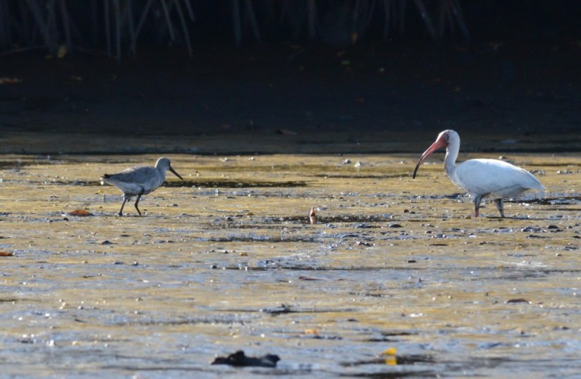 Photo of a White Ibis and Stilt Sandpiper along the San Cristobal River near San Blas, Mexico