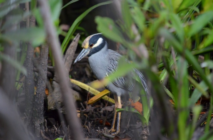 Yellow-crowned Night Heron 1, mangrove swamp, san blas, nayarit, mexico