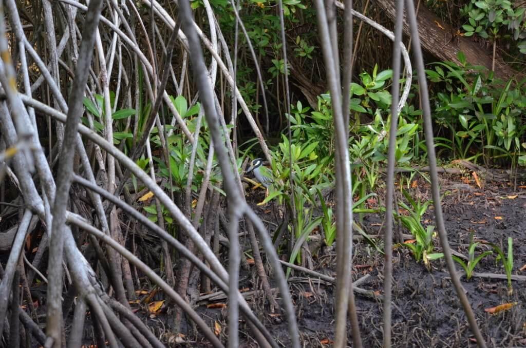 Yellow-crowned Night Heron 2, mangrove swamp, san blas, nayarit, mexico
