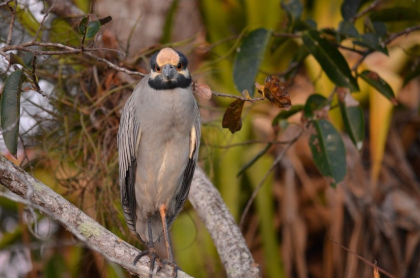 Photo of a Yellow-crowned Night Heron in the mangrove swamp near San Blas, Mexico