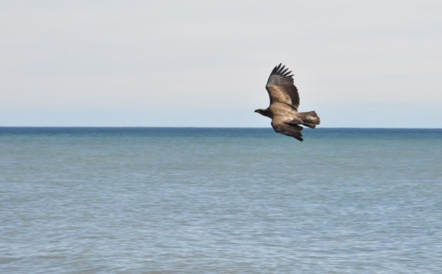 Juvenile Bald Eagle in flight over Lake Ontario, near Ajax, Ontario