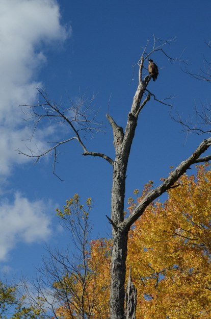 Juvenile Bald Eagle sitting atop a tree in Ajax, Ontario
