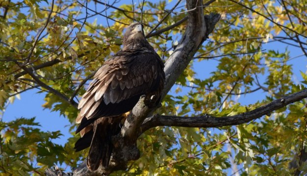 Juvenile Bald Eagle sitting in a tree in Ajax, Ontario