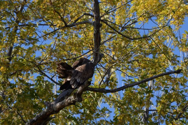 Juvenile bald eagle preening its feathers in a tree, in Ajax, Ontario