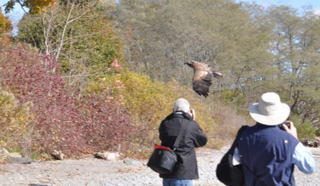 Juvenile Bald Eagle in flight past birders near Ajax, Ontario