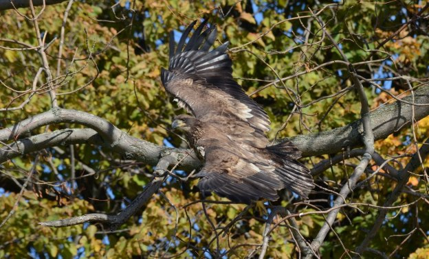 Juvenile Bald Eagle takes flight in Ajax, Ontario