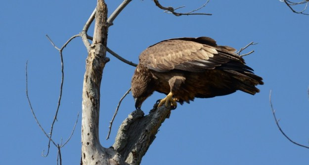 Juvenile Bald Eagle chews on a tree in Ajax, Ontario