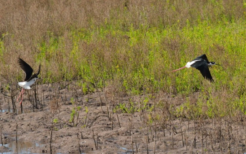 An image of Two black-necked stilts in flight at the shrimp ponds near San Blas, Mexico.