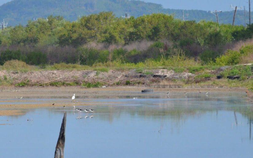 An image of Black-necked stilts at the shrimp ponds near San Blas, Mexico.