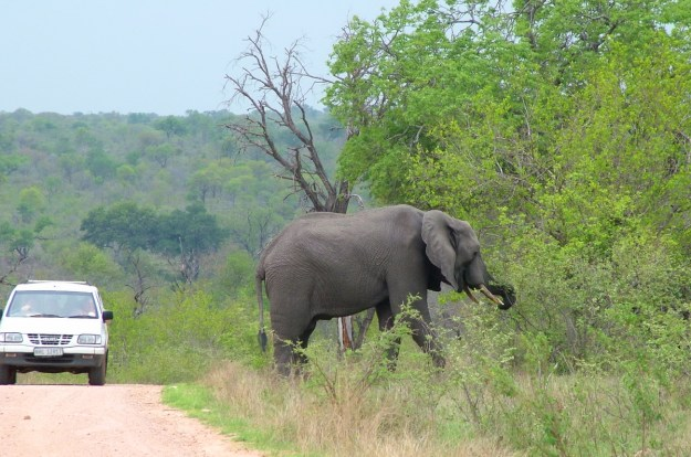 An African Bush Elephant along a dirt road in Kruger National Park, South Africa