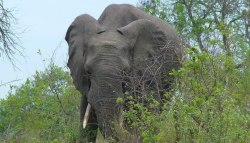 photograph of an elephant at Kruger National Park in South Africa