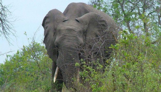 African Bush Elephant eating bushes in Kruger National Park, South Africa