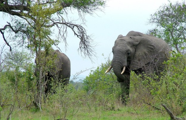 Two African Bush Elephants in Kruger National Park, South Africa