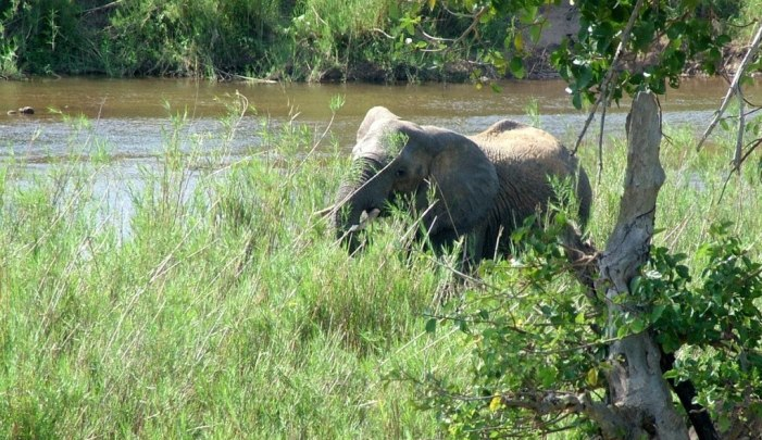 African Bush Elephant eating along a river in Kruger National Park, South Africa