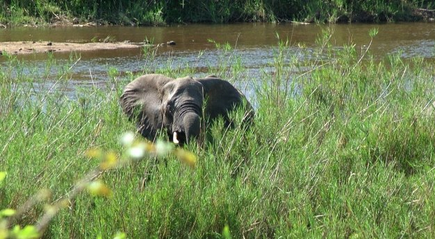 African Bush Elephant along a river in Kruger National Park, South Africa
