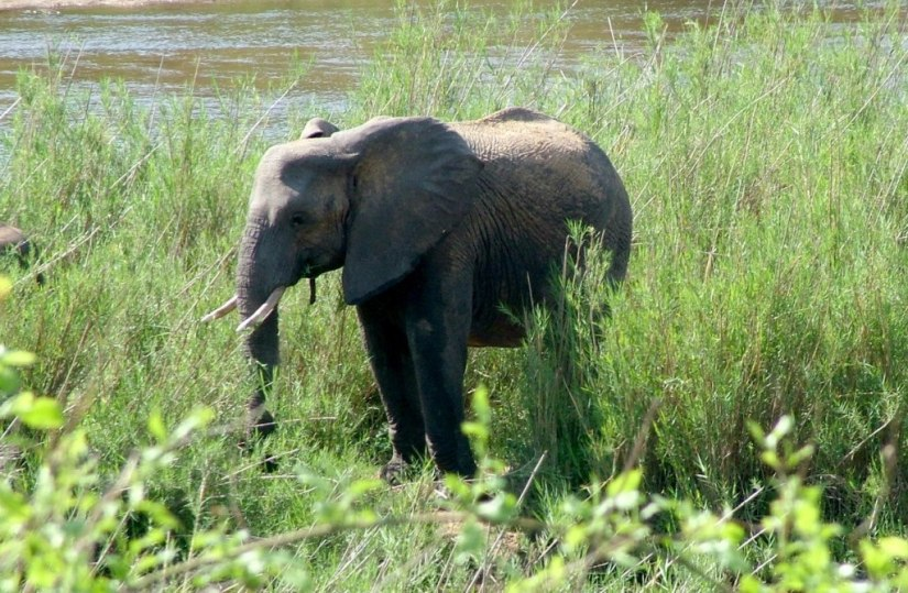 An image of a baby African Bush Elephant along a river in Kruger National Park, South Africa. Photography by Frame To Frame - Bob and Jean.