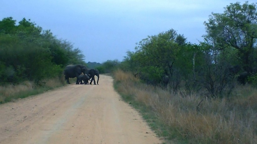 African Bush Elephants crossing dirt road in Kruger National Park, South Africa