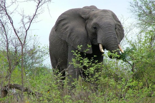 An image of an African elephant eating leaves off a bush in Kruger National Park, South Africa.