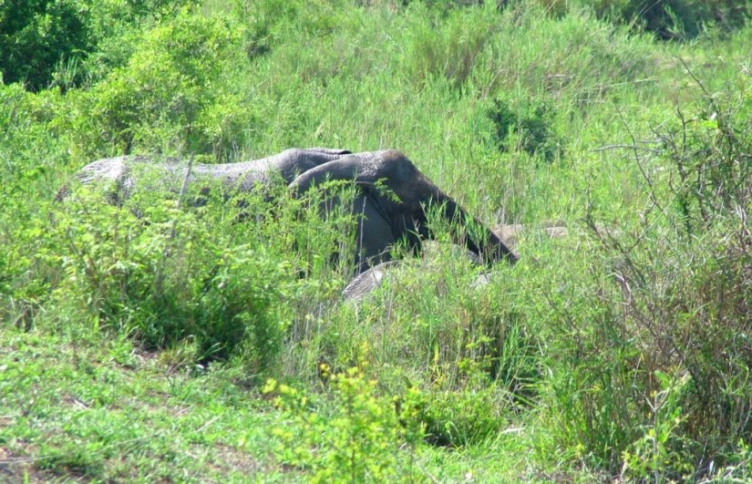An African Bush Elephant along a river in Kruger National Park, South Africa