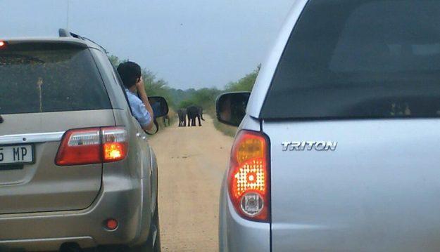 African Bush Elephants crossing dirt road in Kruger National Park