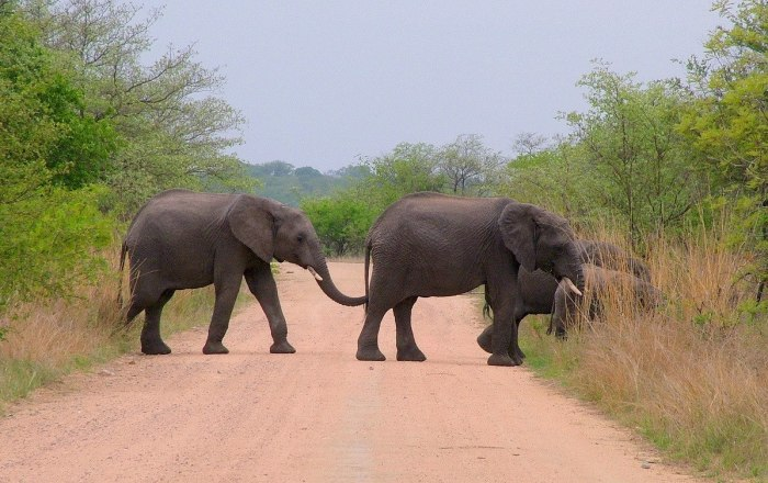 An image of African Bush Elephants crossing dirt road in Kruger National Park, South Africa. Photography by Frame To Frame - Bob and Jean.