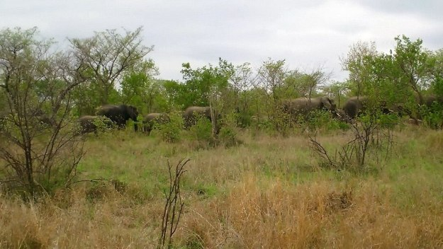 herd of elephants, kruger national park, south africa, pic 1