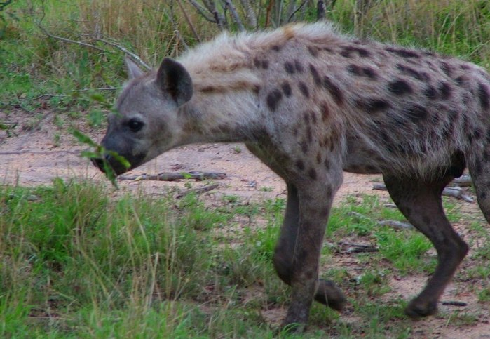 hyena on armed safari, kruger national park, south africa, pic 14