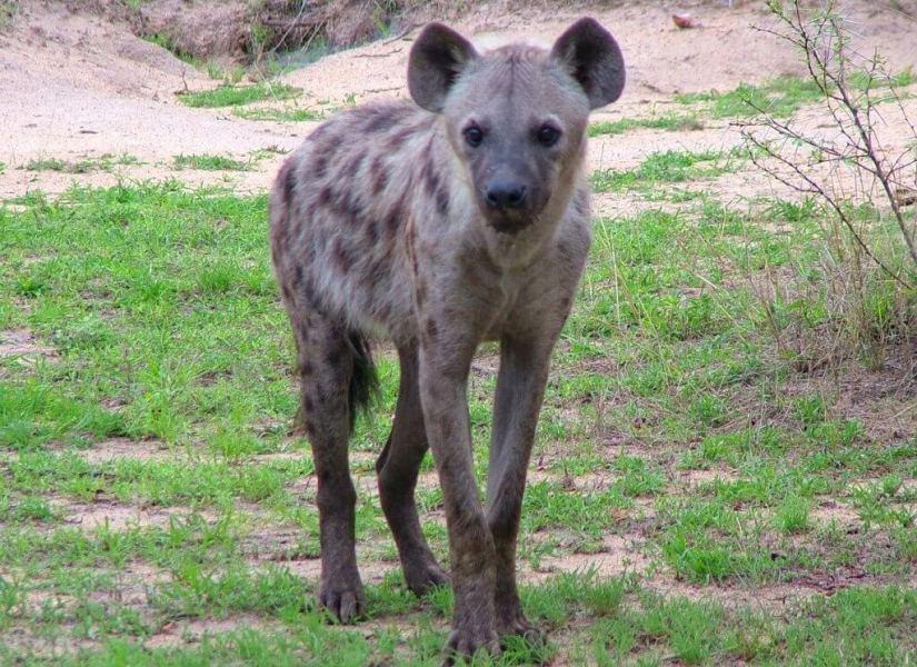 hyena on armed safari, kruger national park, south africa