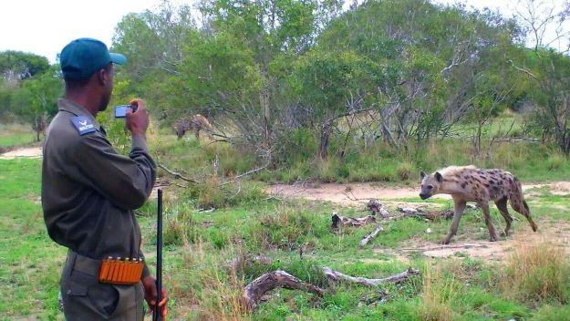 hyenas on armed safari, kruger national park, south africa, pic 2