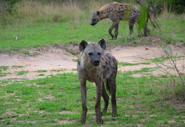 hyenas on armed safari, kruger national park, south africa, pic 7