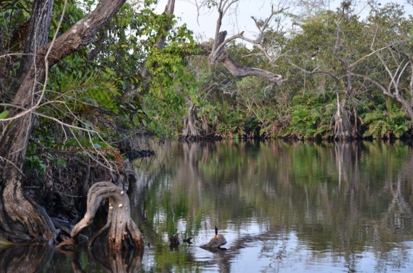 Photo of trees and stumps in the mangrove swamp near San Blas, Mexico