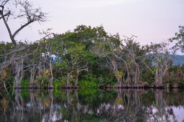 Photo of trees in the mangrove swamp near San Blas, Mexico